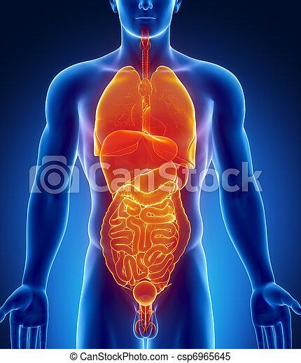 Male abdominal organs. Male organs.