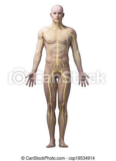 male anatomy - csp19534914