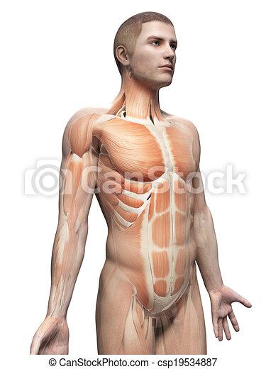 male anatomy - csp19534887