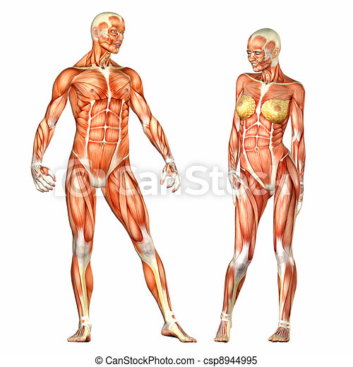 Male and female human body anatomy. Illustration of the anatomy of ...