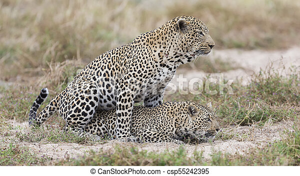 Male and female leopard mating on grass in nature - csp55242395