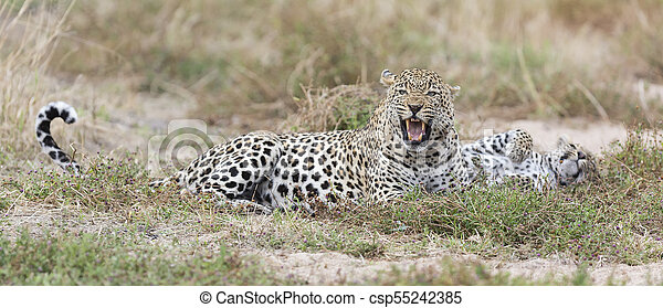 Male and female leopard rest after mating in nature - csp55242385