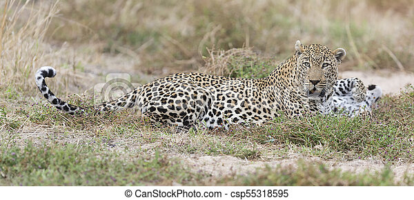 Male and female leopard rest after mating in nature - csp55318595