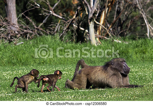 Male baboon and his baby offsprig - csp12306580