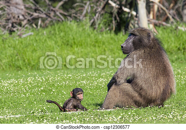 Male baboon and his baby offspring - csp12306577