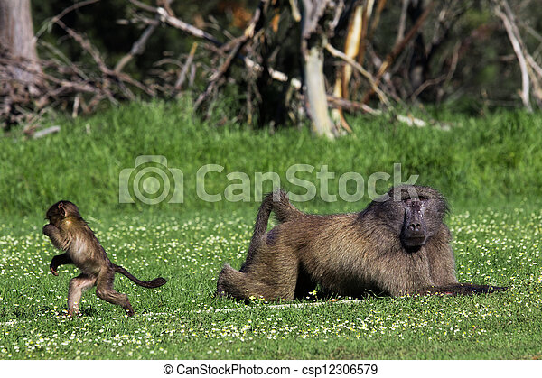 Male baboon and his baby offspring - csp12306579