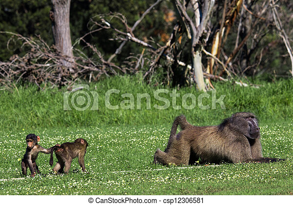 Male baboon and his baby offspring - csp12306581