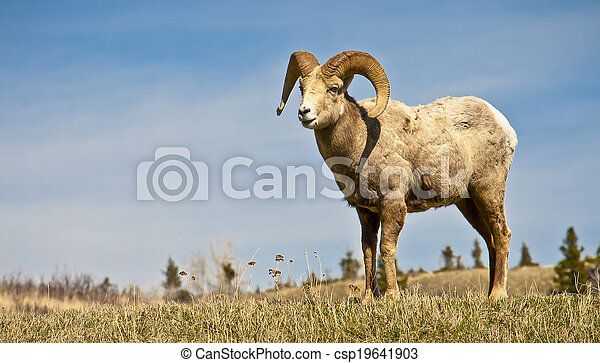 Male Big Horned Sheep  - csp19641903