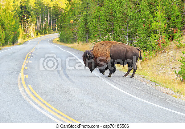 Male bison crossing road in Yellowstone National Park, Wyoming - csp70185506
