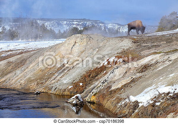 Male bison standing by Firehole River in Upper geyser basin, Yellowstone National Park, Wyoming - csp70186398