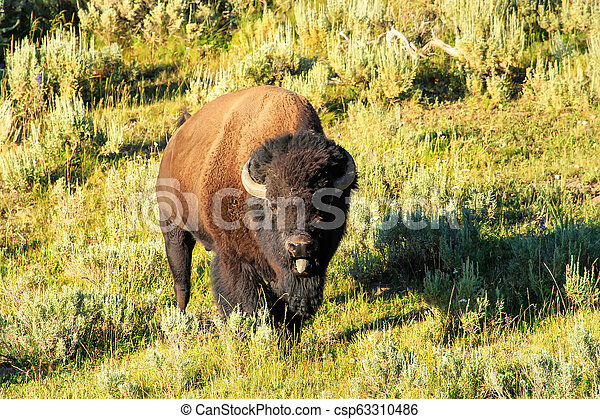 Male bison standing in Yellowstone National Park, Wyoming - csp63310486