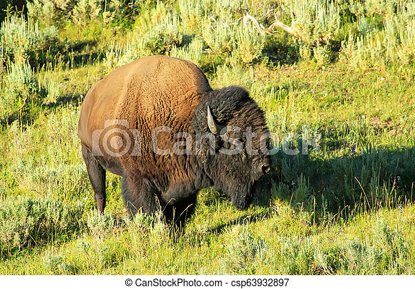 Male bison standing in Yellowstone National Park, Wyoming - csp63932897