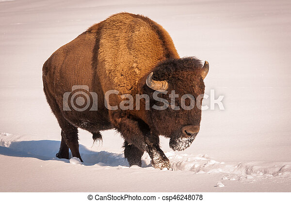 Male bison walking in the snow - csp46248078