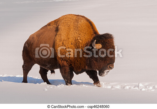 Male bison walking in the snow - csp46248060