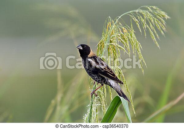 Male Bobolink (dolichonyx oryzivorus) - csp36540370