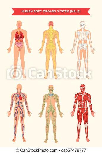 Male body organ systems poster. Male body internal organs ...