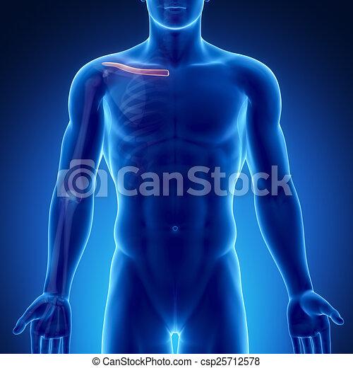Male Bone Anatomy Clavicle Male Bone Anatomy Clavicle