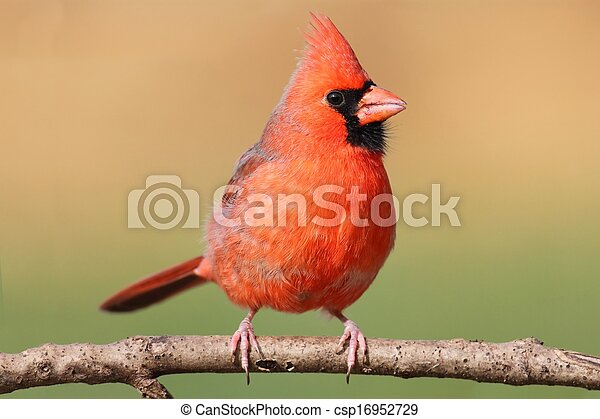 Male Cardinal In A Tree - csp16952729