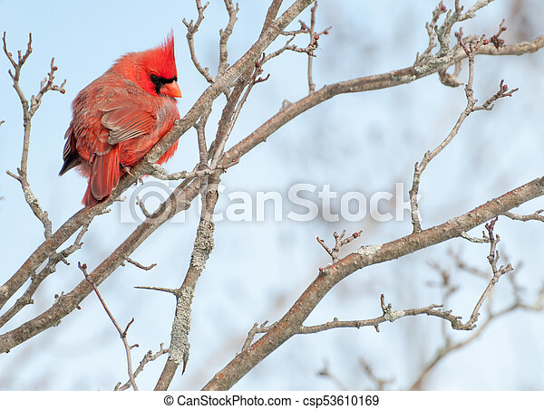 Male Cardinal Perched - csp53610169