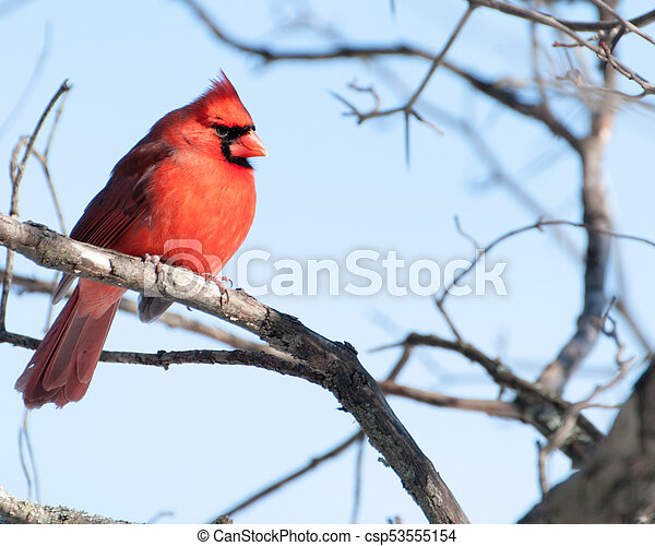 Male Cardinal Perched - csp53555154