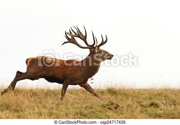 male cervus elaphus on the run - csp24717439
