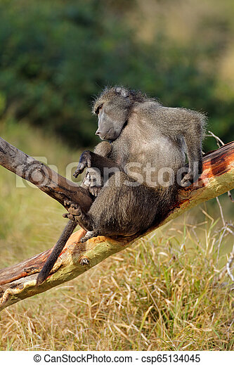 Male chacma baboon in a tree - csp65134045