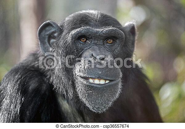 Male chimpanzee - csp36557674