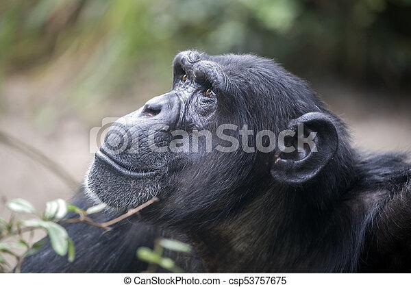 Male Chimpanzee Portrait - csp53757675