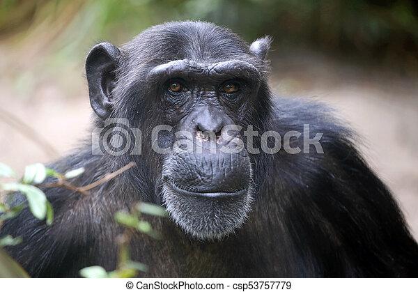 Male Chimpanzee Portrait - csp53757779