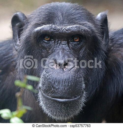 Male Chimpanzee Portrait - csp53757763