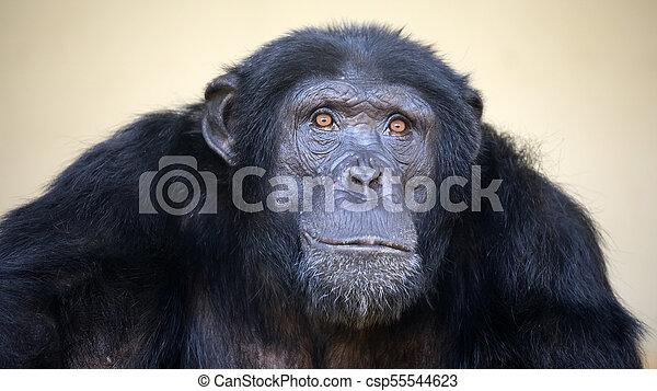 Male Chimpanzee portrait - csp55544623
