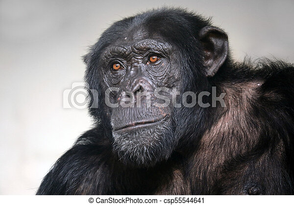 Male Chimpanzee portrait - csp55544641