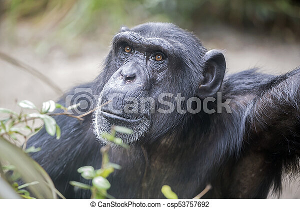 Male Chimpanzee Portrait - csp53757692