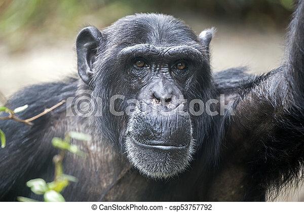 Male Chimpanzee Portrait - csp53757792