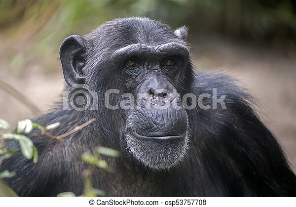 Male Chimpanzee Portrait - csp53757708