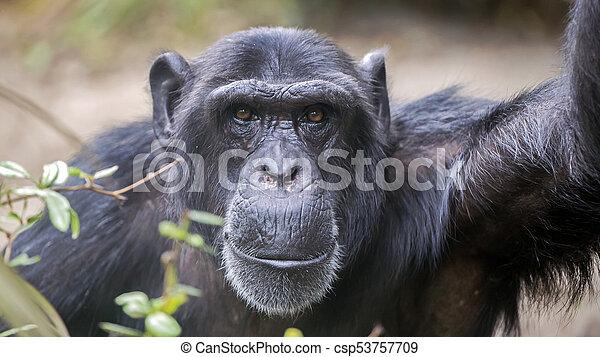 Male Chimpanzee Portrait - csp53757709