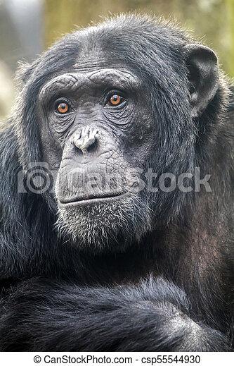 Male chimpanzee portrait - csp55544930