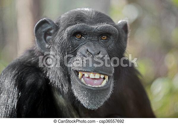 Male chimpanzee - csp36557692