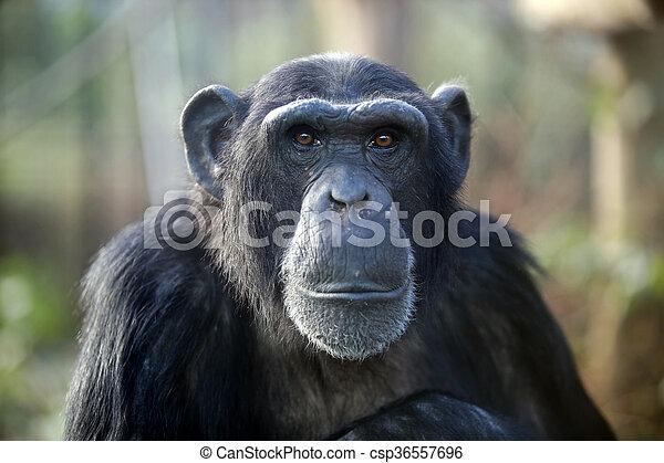 Male chimpanzee - csp36557696