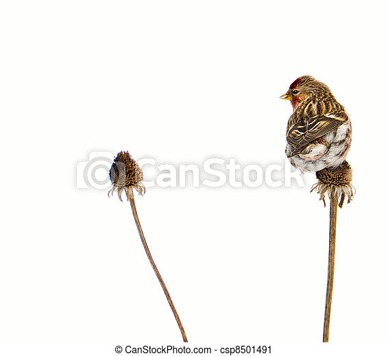 Male common redpoll, isolated. - csp8501491