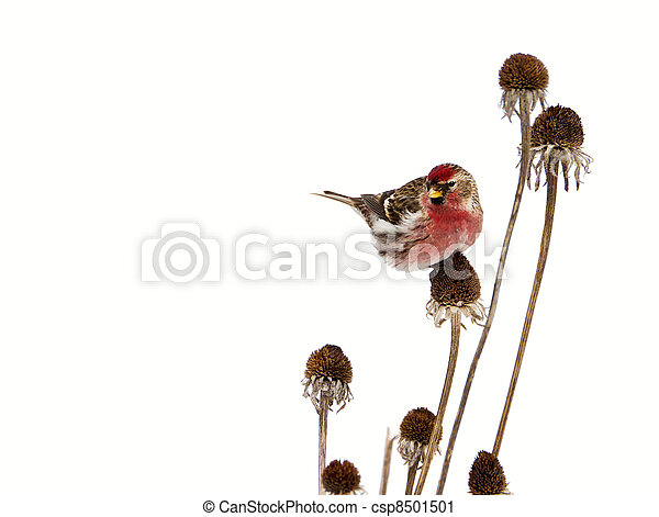 Male common redpoll, isolated. - csp8501501