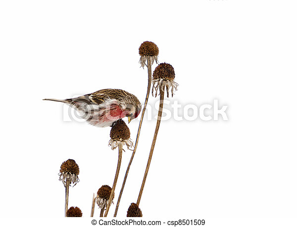Male common redpoll, isolated. - csp8501509