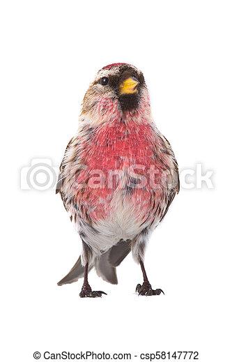 male Common Redpoll - csp58147772