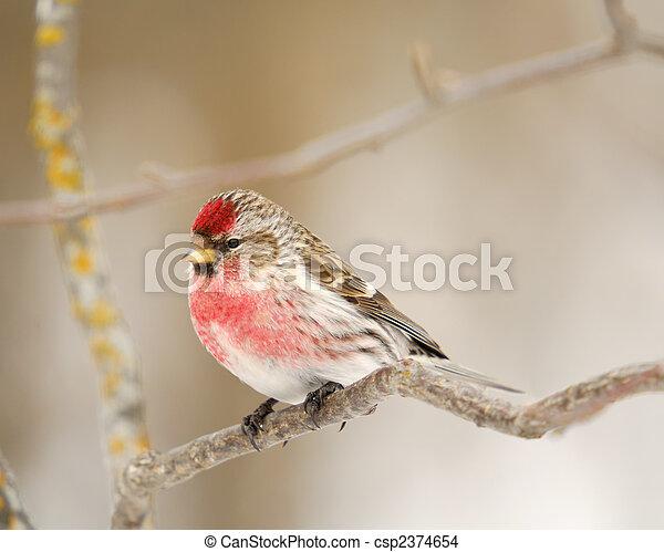 Male Common Redpoll - csp2374654