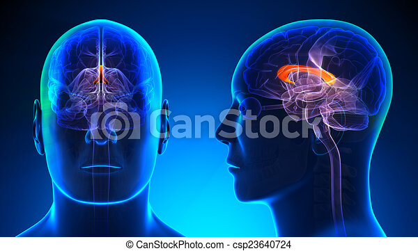 Male Corpus Callosum Brain Anatomy Blue Concept