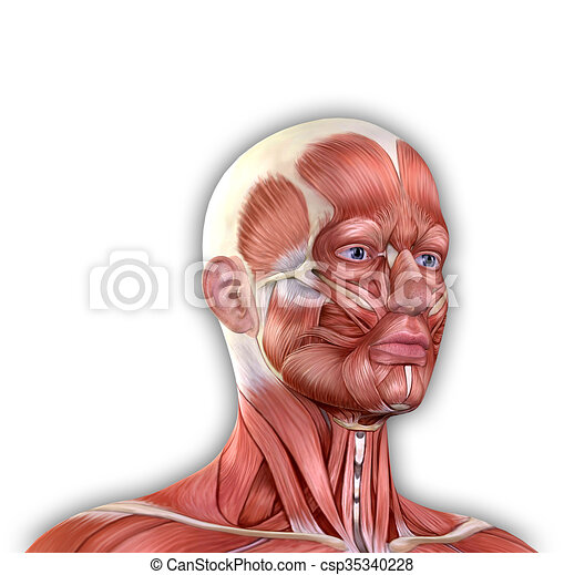 Male face muscles anatomy isolated on white.