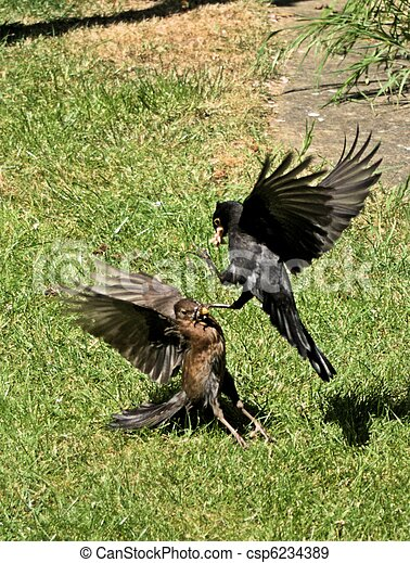 Male & Female Blackbirds fighting over food - csp6234389