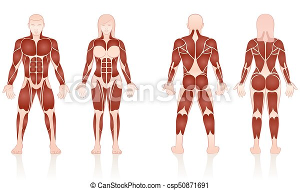Male female muscles anatomic comparison. Male and female muscles ...