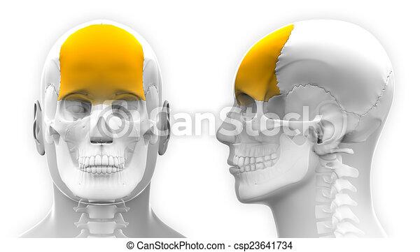 Male Frontal Bone Skull Anatomy - isolated on white - csp23641734