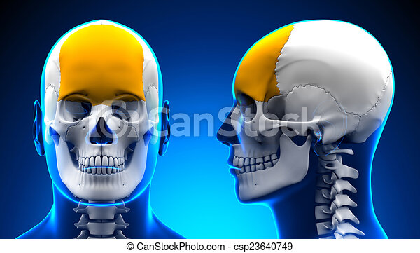 Male frontal bone skull anatomy - blue concept.